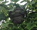 Paper Wasp Nest - 49512.JPG