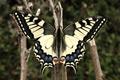 PapilioMachaon Imago.png