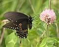 Papilio troilus P1170377a.jpg