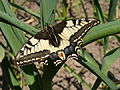 Papillon machaon - Papilio machaon - 005.JPG