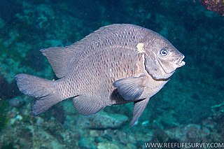 New Zealand black angelfish species of fish