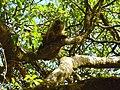 Parque Nacional de Brasília - Macaco prego4.jpg