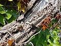 Parthenocissus tricuspidata Veitchii 2017-05-23 0458.jpg