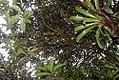 Passiflora quadrangularis 10zz.jpg