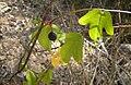 Passiflora suberosa fruit.jpg