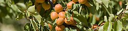 Drome apricots on a branch.