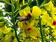 Flor polinizada por abelha, J.B. São Paulo