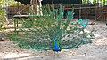 Peacock dancing from trivandrum zoo.jpg