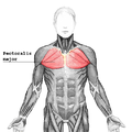 Pectoralis major.png