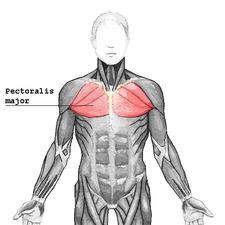 musculus pectoralis major