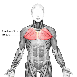 http://upload.wikimedia.org/wikipedia/commons/thumb/6/6c/Pectoralis_major.png/260px-Pectoralis_major.png