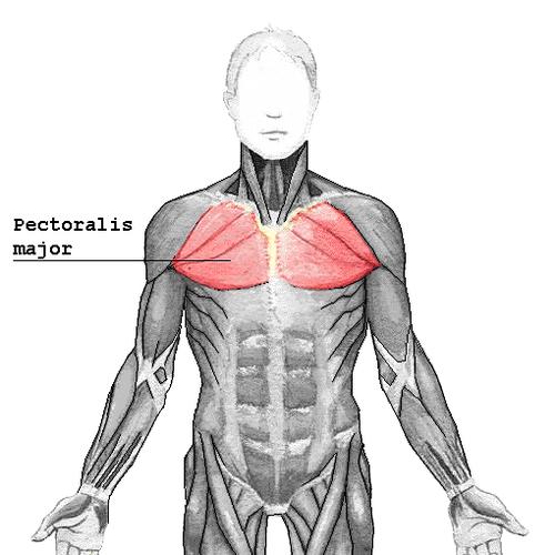 Músculo pectoral mayor - Wikiwand