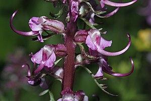 Pedicularis groenlandica - Image: Pedicularis groenlandica 9907