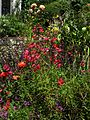 Penstemon Marchant's Cherry Red - Flickr - peganum.jpg