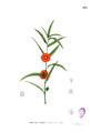 Pentapetes phoenicea Blanco2.235.png