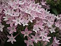 Pentas Cornia from Lalbagh flower show Aug 2013 8267.JPG
