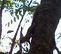 Pequeno Esquilo.jpg