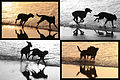 Perros jugando en la Playa (3755277183).jpg