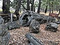 Petrified Redwood - Sequoia langsdorfii, Metasequoia - 13.jpg