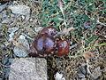 Pflanzengallen bei einer Eiche P1000446.JPG