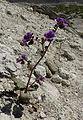 Phacelia calthifolia 1.jpg