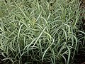 Phalaris arundinacea var. picta Feesey 2020-06-23 0615.jpg