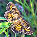 Phaon Crescent (Phyciodes phaon) (6131280512).jpg