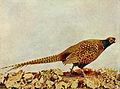 Phasianus colchicus 1905.jpg