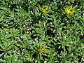 Phedimus middendorffianus OB10.jpg