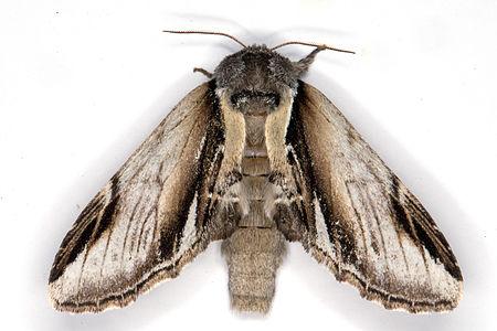 Pheosia gnoma, Lodz(Poland)01(js).jpg