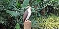 Philippine Eagle at the Philippine Eagle Center 001.jpg
