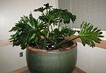 Philodendron bipinnatifidum (LSB, BYU).jpg