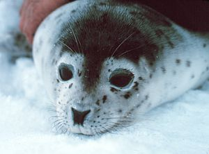 Spotted seal - Image: Phoca Largha