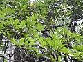 Phoebe cooperiana Leaves (1).jpg