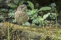 Phoenicurus phoenicurus 04(js), Lodz (Poland).jpg
