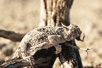 Phrynosomatidae - Desert horned lizard (Phrynosoma platyrhinos)