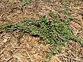 Phyla nodiflora-Capeweed,Carpet Weed, Kattuthippali, Neerthippali 2.jpg