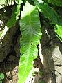 Phyllitis scolopendrium subsp. scolopendrium 04 by Line1.jpg