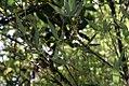 Phyllostachys aurea 8zz.jpg