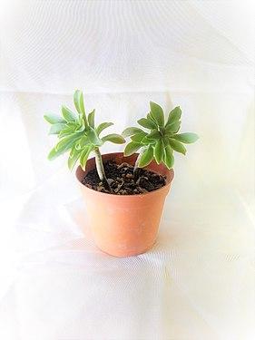 Pianta semigrassa.jpg