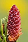 Picea omorika young female cone - Keila.jpg