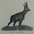 Picture Natural History - No 73 - The Roebuck.png