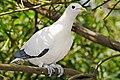 Pied Imperial-pigeon - melbourne zoo.jpg