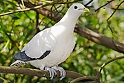Pied Imperial-pigeonlocally common in coastal forest
