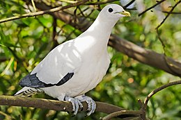 Pied Imperial-pigeon - melbourne zoo