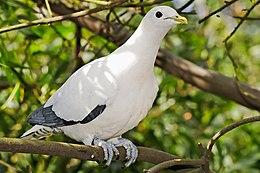 Burung Pergam Rawa - Wikipedia Bahasa Melayu, ensiklope
