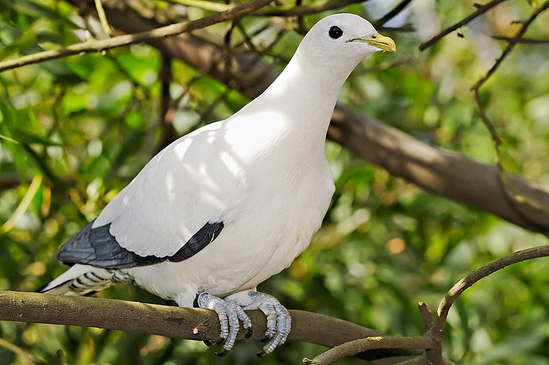 Ficheiro:Pied Imperial-pigeon - melbourne zoo.jpg