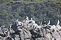 Pied cormorants - Pennicott Bruny Island cruise (33873318826).jpg