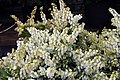 Pieris japonica var. yakushimanum Cavatine 3zz.jpg