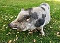 Pig swine Norway 2017-09-16 02.jpg